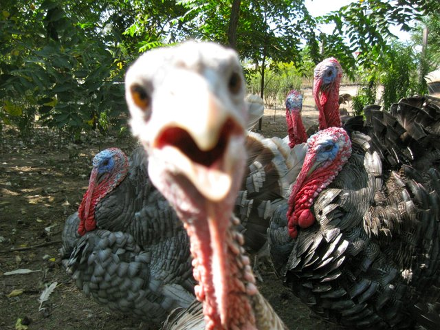 heritage_turkeys1.jpg