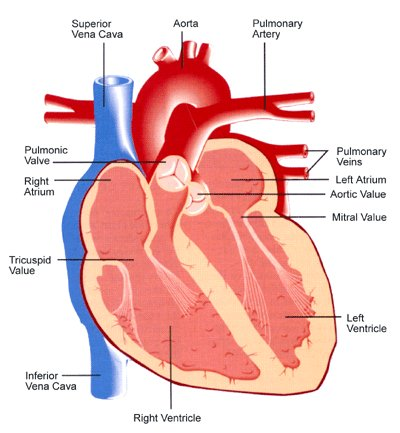 heart_diagram.png