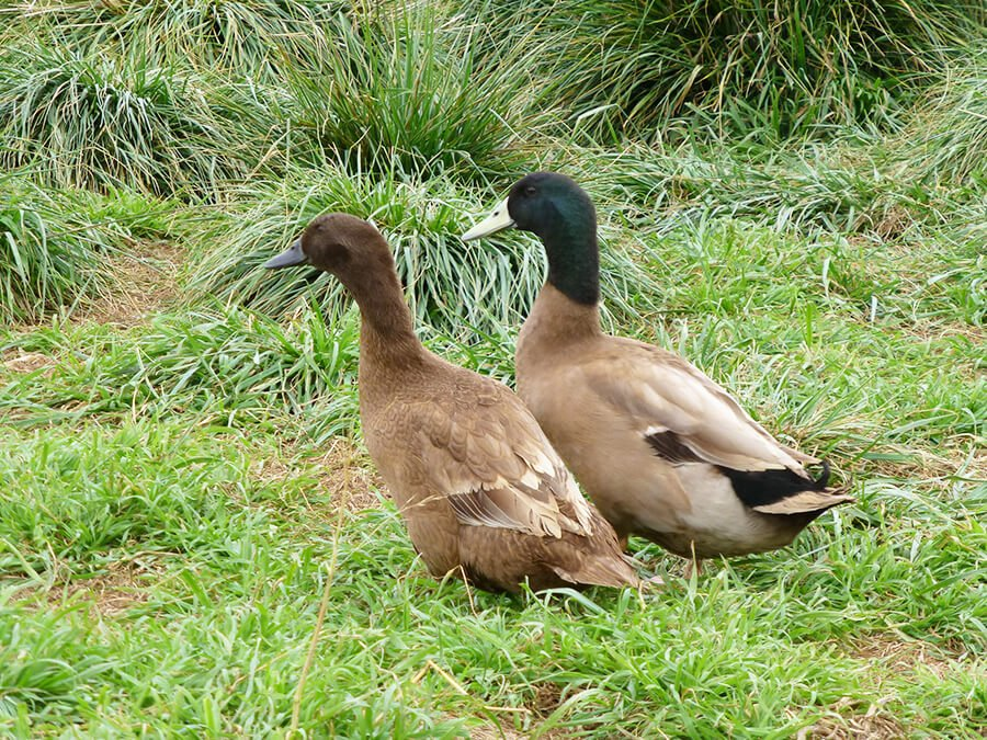 khaki-campbell-ducks-adult-male-female.jpg