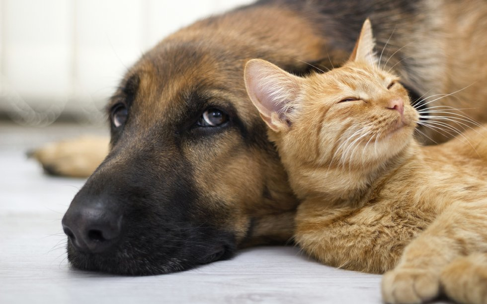 German Shepherd Dog and cat together
